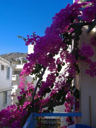 2006-ban Krétán nyaraltunk, ez a gyönyörűség a szálloda falán kúszott végig, aztán a teraszunk felett lévő rácsot nőtte be, árnyékot, hihetetlen színeket és hangulatot kölcsönözve az teraszon töltött időnek.